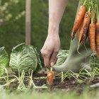 Cómo sembrar y cultivar zanahorias exitosamente
