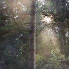 ¿Qué es la brea de pino?