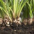 Cómo plantar malanga