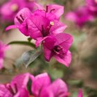 Bougainvillea shrubs often attract hummingbirds.