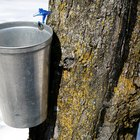 Growth Rate for Liquid Amber and Maple Trees