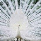 Simbolismo do pavão branco