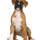 Episodic Aggression in Boxer Dogs