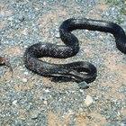 Qué tan agresivas son las serpientes negras