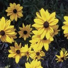 Black-eyed Susan blossoms yield small cones containing seeds.