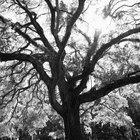 El árbol de la vida en la tradición judía