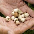 Cuál es la diferencia entre las cebollas perla y las de piel plateada