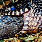 Tipos de serpientes negras y amarillas