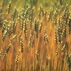 Tipos comestibles de granos