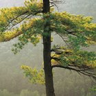 How to Grow a Larch Tree From a Cutting