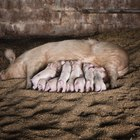 Cinco hechos sobre críar cerdos y ganado