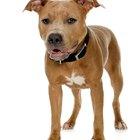 Tipos de cuerpo del pitbull terrier americano