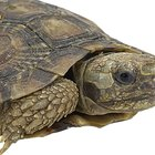 Characteristics of Terrapin Turtles