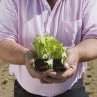 Germinación de las semillas de la lechuga