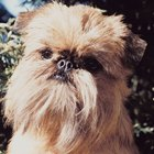 The Life Expectancy of a Brussels Griffon