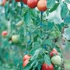 Pomodori di Belmonte