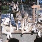 How Do Siberian Huskies Behave?