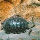 The adaptation of wood lice