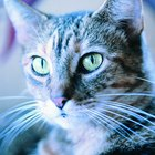 What Purpose Do the Whiskers of Dogs & Cats Serve?