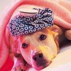 Como aplicar uma compressa quente em cães