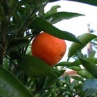 Tangerine trees are more cold-hardy than orange trees.