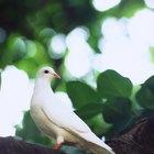 Cómo tratar los piojos en las palomas