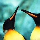 As diferenças entre o pinguim-imperador macho e fêmea