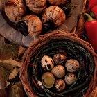 Como chocar ovos de codorna?