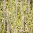 Lodgepole pines in places like the Yellowstone Plateau require wildfire to reproduce.
