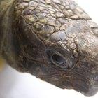 Como saber se um ovo de tartaruga é fértil ou infértil