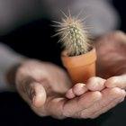 ¿Con qué frecuencia necesitas regar un cactus bebé?