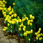 Em que época do ano as tulipas florescem?