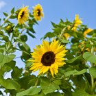 What eats sunflower plants?