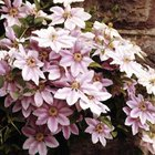 Clematis is a clinging vine that uses twining stems to hold onto support structures.