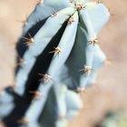 Cómo salvar un cactus podrido
