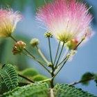 Enfermedades que marchitan a las mimosas