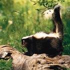 ¿Cómo sobrevive un zorrillo en la vida salvaje?