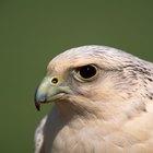 ¿Por qué las aves rapaces son importantes para la ecología?