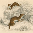 Differences Between Ferrets, Stoats and Weasels
