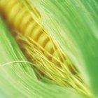 Cómo asar mazorca de maíz en una parrilla a gas