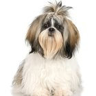 A Shih Tzu Who Is Allergic to Flea Saliva