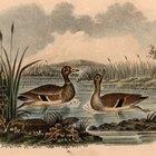 Hábitos de anidación del pato silvestre