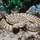 El hábitat de la serpiente cascabel pigmea