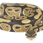Tipos de serpientes pitón