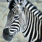 What Are the Biotic and Abiotic Factors of the Zebra?