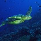 ¿Cómo respiran las tortugas debajo del agua?