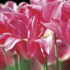 Cómo cultivar tulipanes en cualquier época