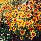 Cómo cultivar un crisantemo en exteriores