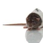 Cómo tratar el resfriado de tu rata