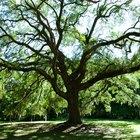 Información sobre árboles de sombra para patios pequeños